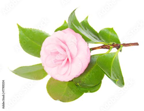 Foto op Plexiglas Magnolia twig of azalea