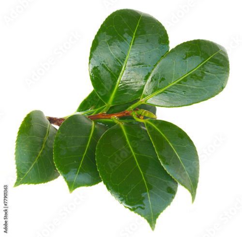 Foto op Plexiglas Azalea twig of azalea