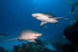 Caribbean reef shark and Lemon shark