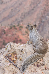 Squirrel on the lookout at the grand canyon