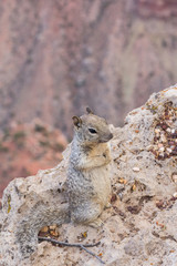 Squirrel begging for food at the grand canyon