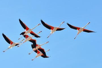 Camargue, Arles, Francia  -  fenicotteri in volo