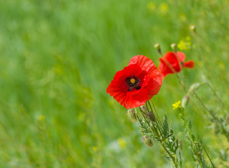 Red poppy in wild field at summer time