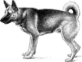 Shepherd dog on guard