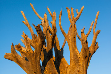 treetop dead kokerboom
