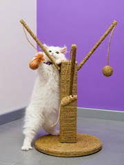 White persian kitten playing with the scratching climber toy