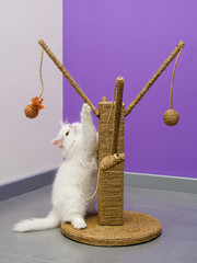 White persian kitten playing on the scratching climber toy
