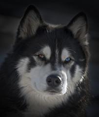 Husky Portrait Dark