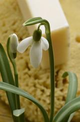 Galanthus nivalis Snowdrop Bucaneve Galanto Snödroppe