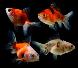 set of gold fish isolated on black
