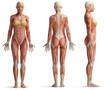 female anatomy - 77916955