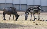 zebra and deer