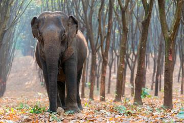 Thai Elephant in a forest at Kanchanaburi province, Thailand
