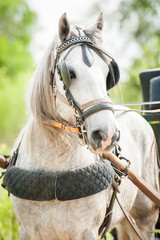 White shire breed stallion dressed in carriage driving harnesses