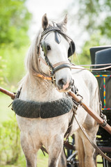 Portrait of white carriage driving shire breed horse