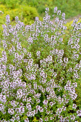 The blossoming Thyme creeping (a thyme ordinary) (Thymus serpyll