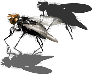 dark fly isolated on white background