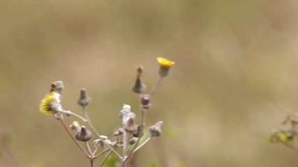Wild dandelion flower shoot moving with the wind