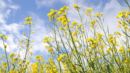 Blossoms of Rapeseed flowers on the blue sky