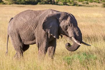 elephant walking in the savanna
