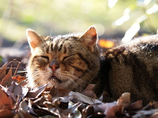 落ち葉の上で眠る猫