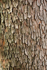 Bark of Arbutus unedo