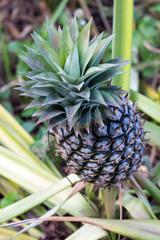 pineapples grow on the stem