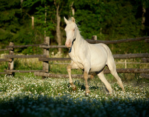 Akhal-teke horse galloping at the field with flowers