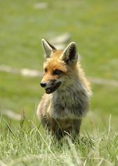 frontale di volpe