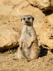 Meerkat sunbathing