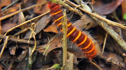 Caterpillar in Costa Rica Rainforest
