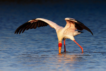 Yellow-billed stork hunting for food