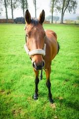 Ein kleines Pferd mit Halfter auf einer Weide