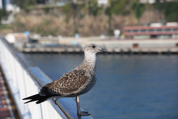 Seagull standing on Cruise Ship's Rail at Madeira