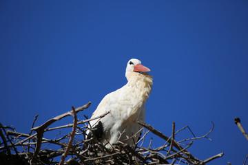 European Stork on nest with blue sky background