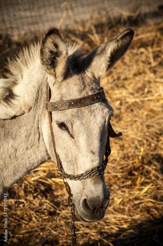 Poster Ezel Grey donkey in field