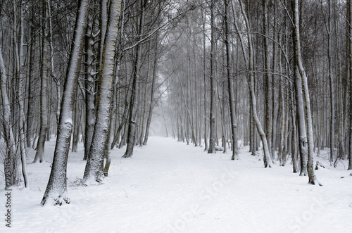Snow covered tree trunks. Winter alley - 77953153