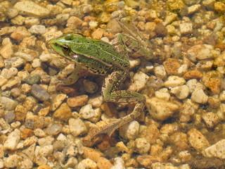 Green frog basking in the pond - species Pelophylax esculentus