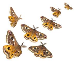 flying moths (Saturnia pavoniella)