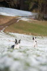 Zwei Border Collies