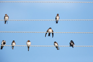 House Martin (Delichon urbica).Wild bird in a natural habitat.