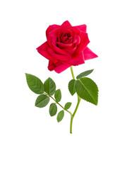 bright beautiful  Red rose