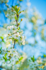 little blossoming branch of cherry tree on blurred sky backgroun