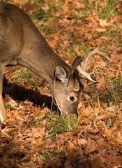 buck eating