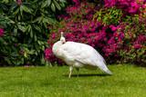 Pavone bianco in un giardino fiorito