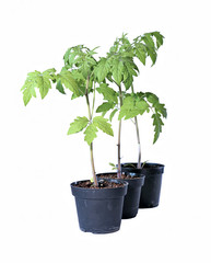 Young tomato sprouts in a garden pots isolated