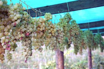 Passito wine - Falanghina