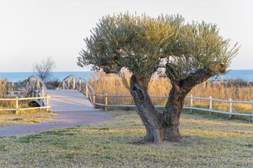 Mediterranean Olivo