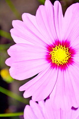 Close up of purple cosmea (cosmos) flower