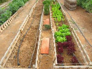 organic gardening with lettuce